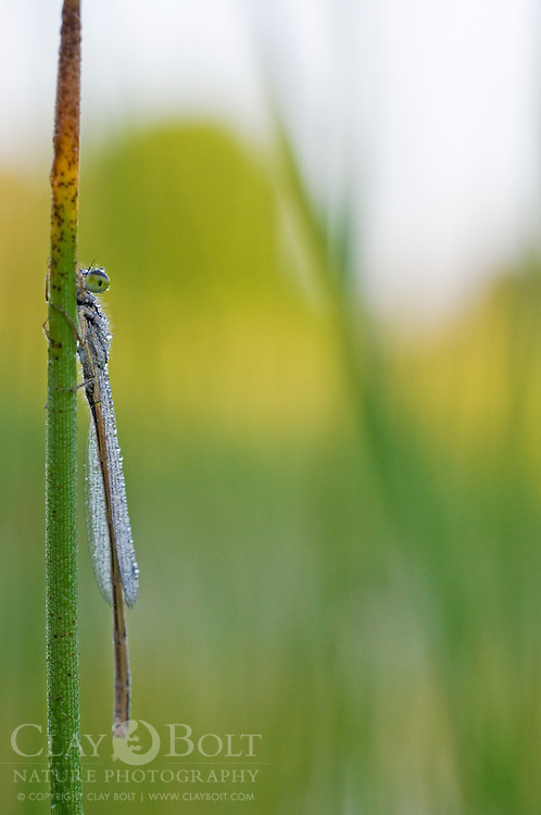 In order to avoid being detected the Familiar Bluet Damselfly (Enallagma civile) will slowly move around its perch to remain on the side away from predators. The large compound eyes of this individual allowed it to continue to see around the rush.