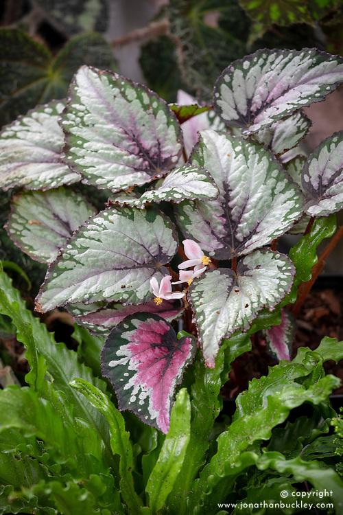 Begonia rex  - Painted-leaf begonia, King begonia, Fan plant