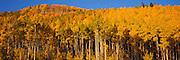 Aspen Grove,  Gore Mountain Range, Colorado, Fall
