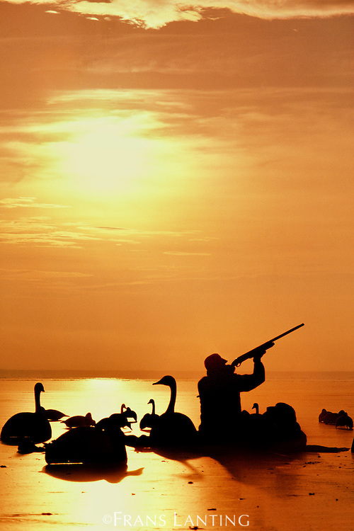 Waterfowl hunter with decoys, Klamath Basin, California