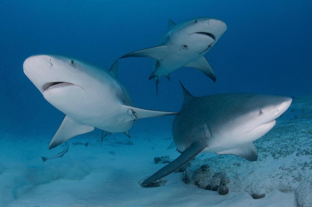 Three bull sharks, Carcharhinus leucas, off Playa Del Carmen, Mexico.