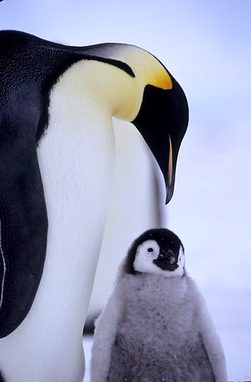 Emperor Penguin, (Aptenodytes forsteri) Adult & chick. Riiser-Larsen ice shelf. Antarctica.