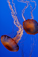 Jellyfish float in a sea of blue at the Monteray Bay Aquarium. California 2008