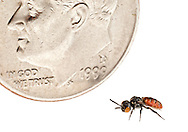 A rarely seen Cuckoo Bee (Holcopasites calliopsidis) is dwarfed beside a US dime.