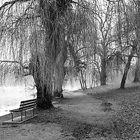 Mysterious weeping willows at waters edge in fog.