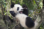 Giant Panda<br /> Ailuropoda melanoleuca<br /> 6-8 month-old cub in tree<br /> Chengdu Research Base of Giant Panda Breeding, Chengdu, China<br /> *captive