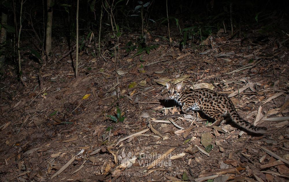 Wild leopard cat (Prionailurus bengalensis) - Kaeng Krachan National Park, Thailand.