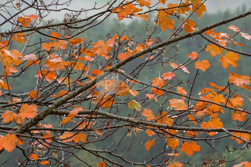 Hojas de arce en otoño (Acer sp.) Valle de Hecho. Parque Natural de los Valles Occidentales. Pirineos. Huesca ©ANTONIO REAL HURTADO / PILAR REVILLA