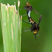 Bombyliidae or Bee flies mating in Huai Kha Kaeng Wildlife Sanctuary, Thailand.