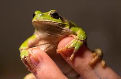 Zelena rega ali bozja zabica (Hyla arborea) / The Little Green Frog, on March 14, 2018 in Ljubljana, Slovenia. Photo by Vid Ponikvar / Sportida