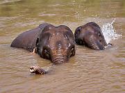 Laos, Sayaburi Province. Mekong Elephant Park, run by Sanctuary Hotels & Resorts.
