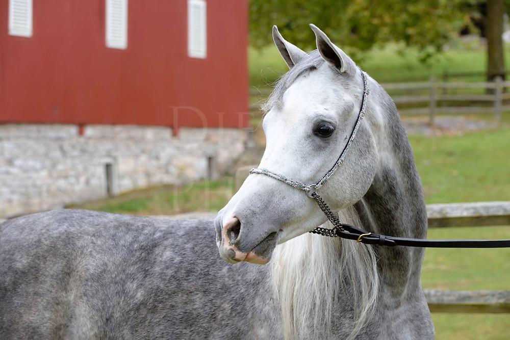 Horse head in close up, a portrait of a dapple gray Arabian outdoors in a farm setting.