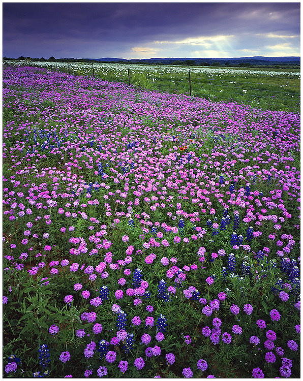 Prairie verbena (Glandulosa bipinnatifida), blanketflower (Gaillardia pulchella), bluebonnets (Lupinus texensis), and white prickly poppies (Argemone albiflora v. texana), Blanco County, TX / #HC211