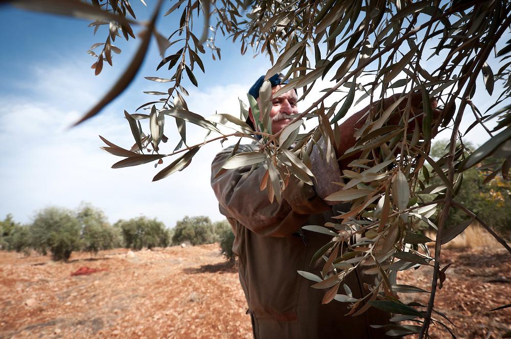 Olive Harvesting, Ajloun, Jordan. 2012.