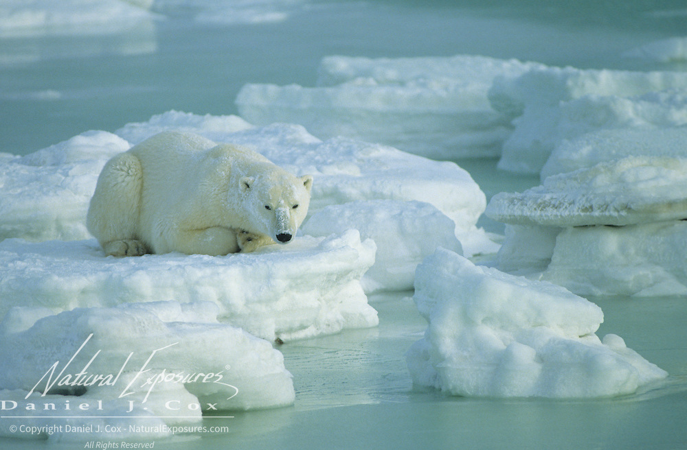 Polar Bear (Ursus maritimus) on ice. Churchill, Manitoba. Canada