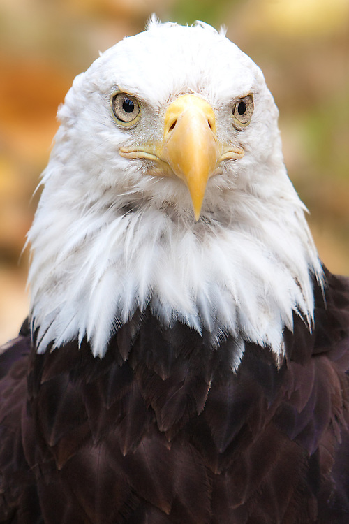 Bald Eagle portrait in fall colors