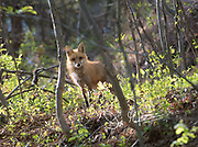 A Red fox stands on a hill in a forest in springtime.