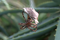 Rain Spider female guarding her nest, Heuningberg Nature Reserve, Bredasdorp, Western Cape, South Africa