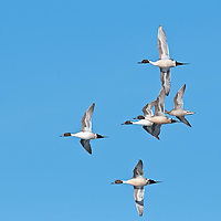 courship flight northern pintail males chasing femail in flight
