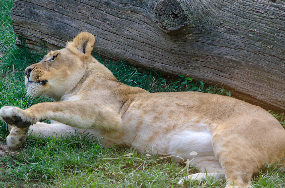 An African lioness (Panthera Leo), rolls in the grass at the Memphis Zoo, September 8, 2015, in Memphis, Tennessee. The zoo features more than 3,500 animals representing more than 500 species; it is one of only four zoos in the nation to feature a panda exhibit. (Photo by Carmen K. Sisson/Cloudybright)