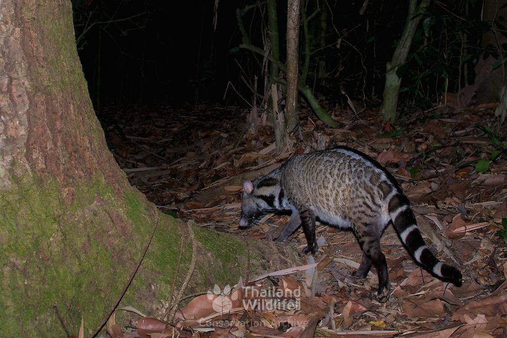 The large Indian civet (Viverra zibetha) in Kaeng Krachan National Park, Thailand.