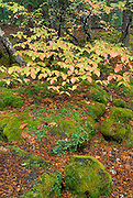Fall color and moss covered rocks along the Rogue River, Rogue River National Forest, Oregon