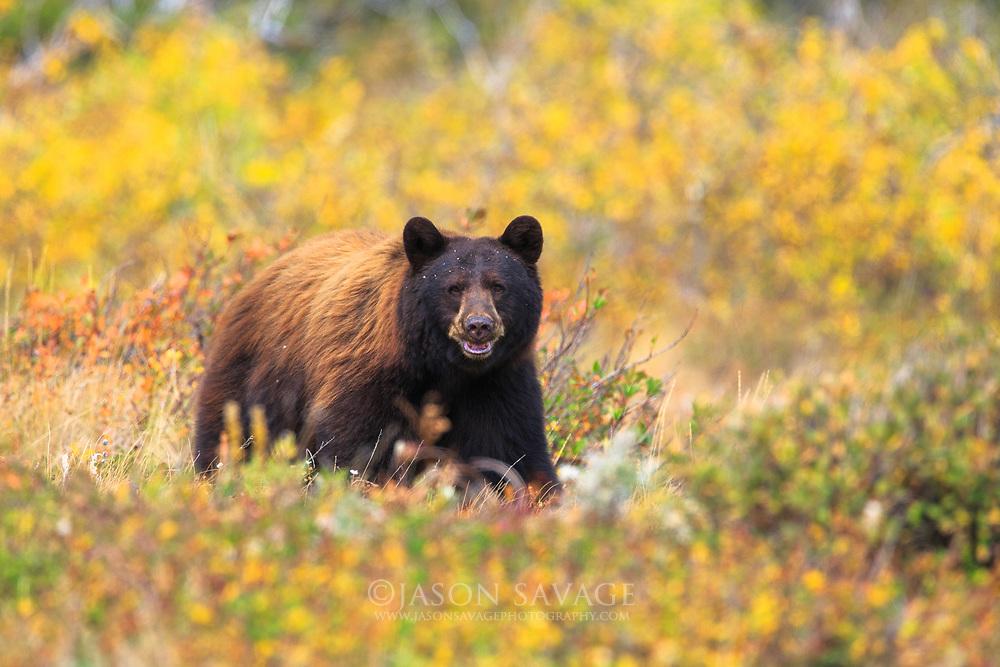 Black Bear in Glacier National Park