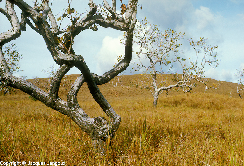 Savanna with contorted trees during dry season in Guiana Highlands of Venezuela.