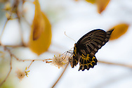 A Golden Birdwing (Troides aeacus) visiting a flower near Kaeng Krachan National Park, Petchaburi, Thailand.