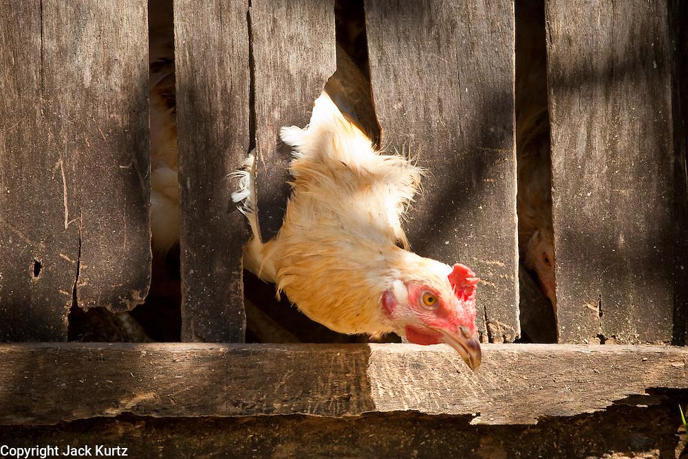 Apr. 22 - UBUD, BALI, INDONESIA:  A chicken pokes its head out of its coop in Ubud, Bali, Indonesia.   Photo by Jack Kurtz/ZUMA Press.