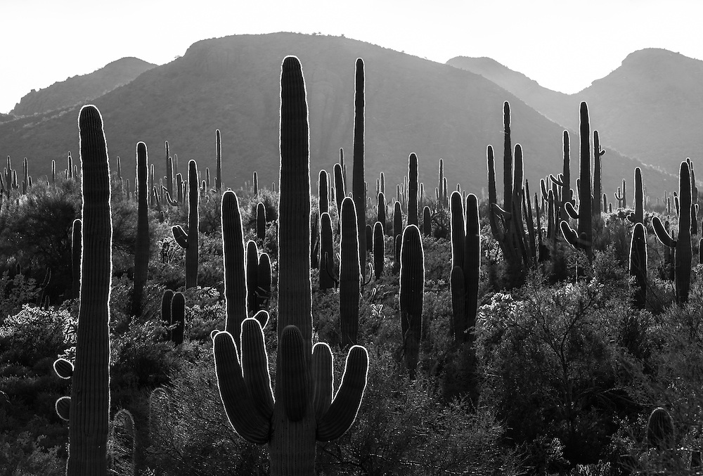 black and white landscape of backlit saguaro and organ pipe cactus in Organ Pipe National Monument in Arizona
