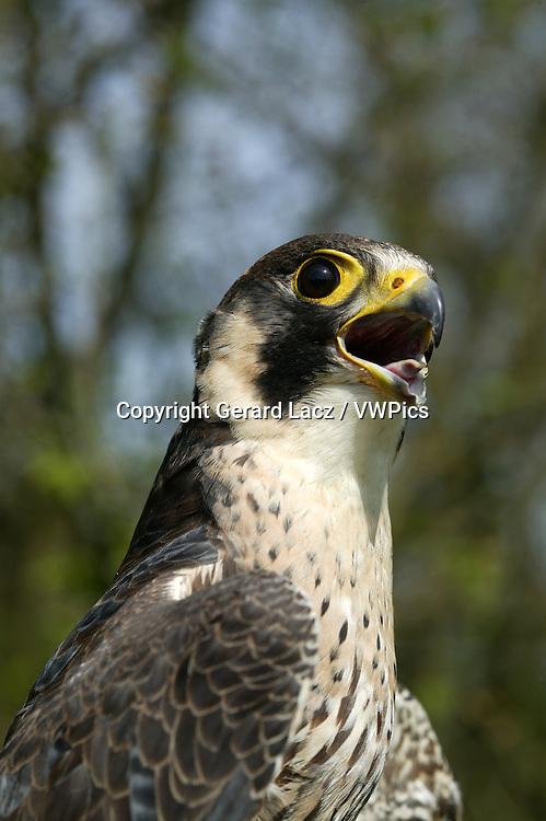 Peregrine Falcon, falco peregrinus, Portrait of Adult, Calling