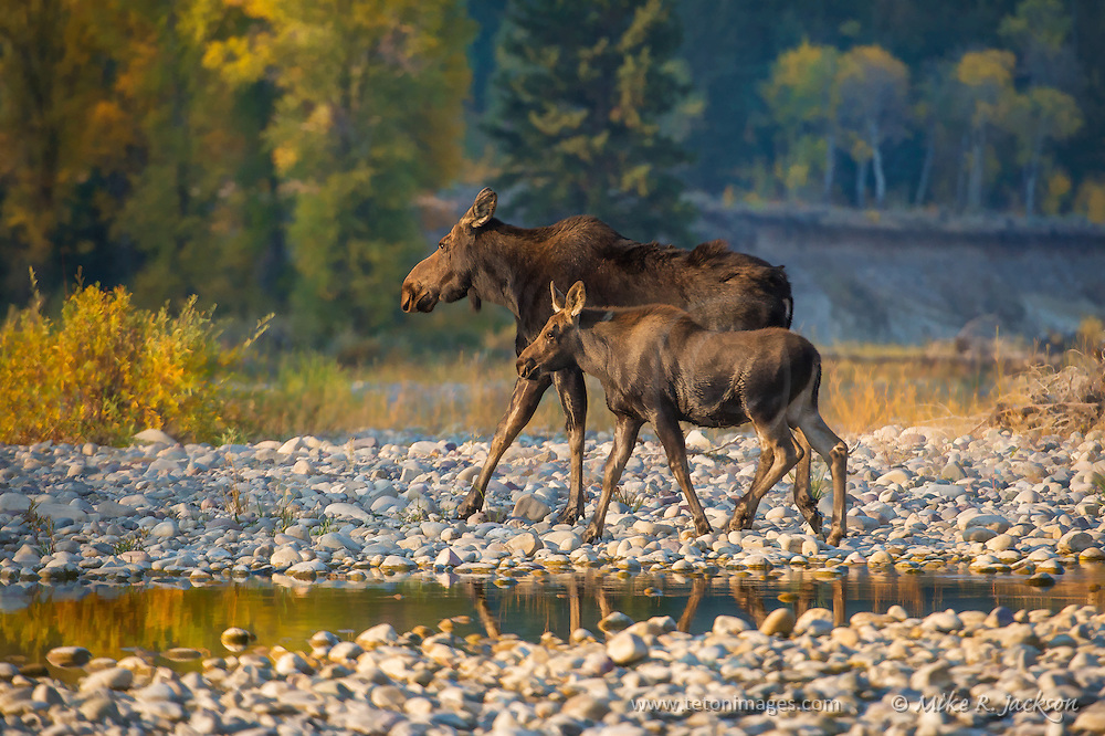 Mother moose and yearling calf moving across the rocky river bottom to get to mid-day cover in Grand Teton National Park.
