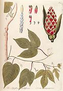 Hand painted botanical study of a plant anatomy from Fragmenta Botanica by Nikolaus Joseph Freiherr von Jacquin or Baron Nikolaus von Jacquin (printed in Vienna in 1809)