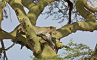 Leopard (Panthera pardus) straddles his kill in an acacia tree
