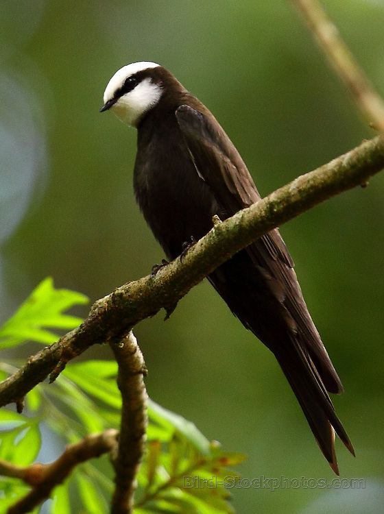 White-headed Saw-wing, Psalidoprocne albiceps, Kakamega Forest, Kenya, by Adam Riley