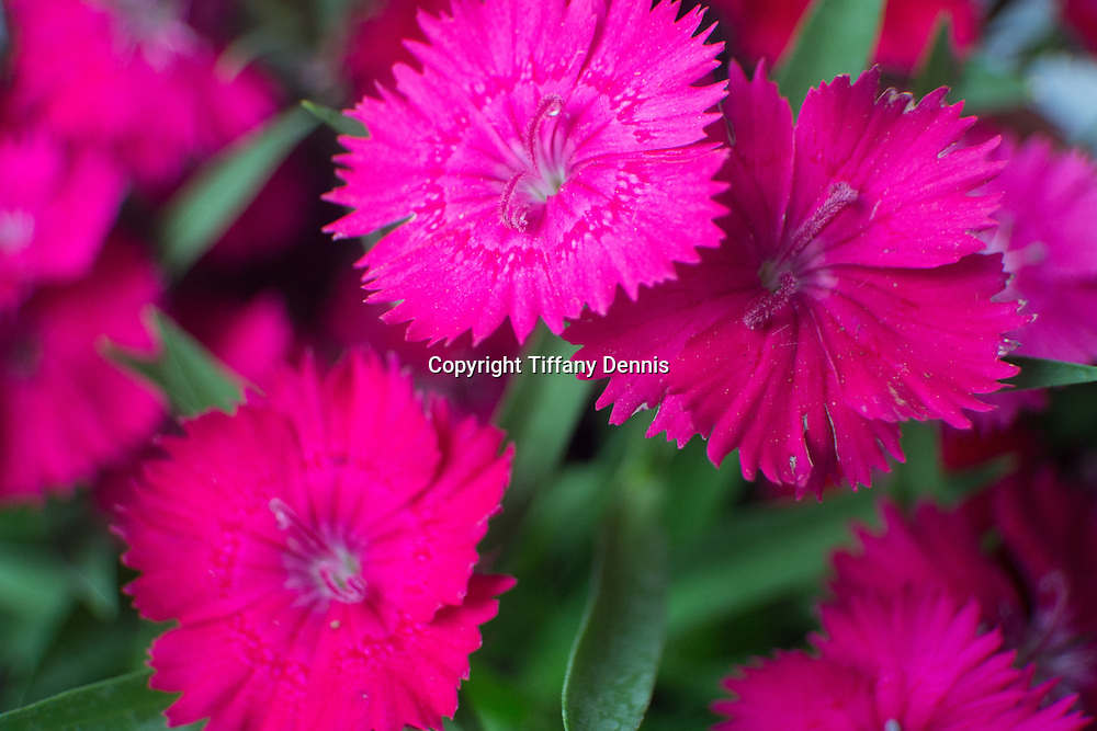 Pink Dianthus Flowers