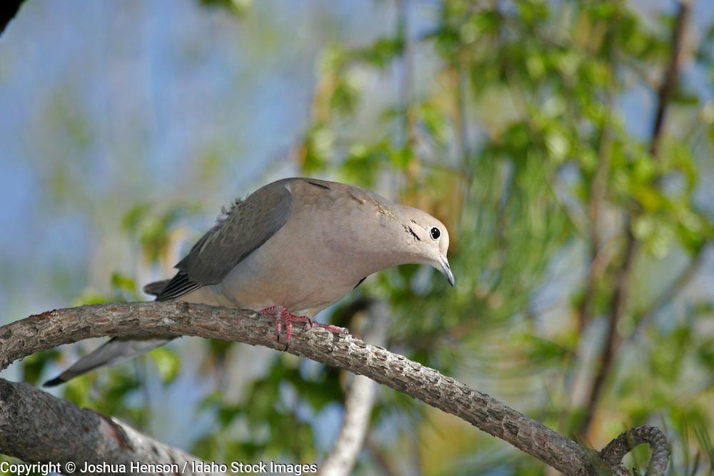 IDAHO. Boise. Mourning Dove (Zenaida macroura).