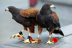 © Licensed to London News Pictures. 11/11/2014. LONDON, UK. The kestrels which keep pigeons away wearing remembrance poppies on their talons in Trafalgar Square during Silence in the Square event as part of Remembrance Day on Tuesday 11 November 2014. Photo credit : Tolga Akmen/LNP