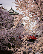 Cherry branches and blossoms hide the castle and the red bridge nearby