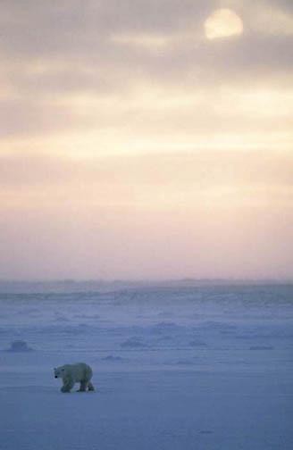 Polar Bear, (Ursus maritimus) Lone bear on the frozen shores of Churchill, Manitoba. Canada. Evening.