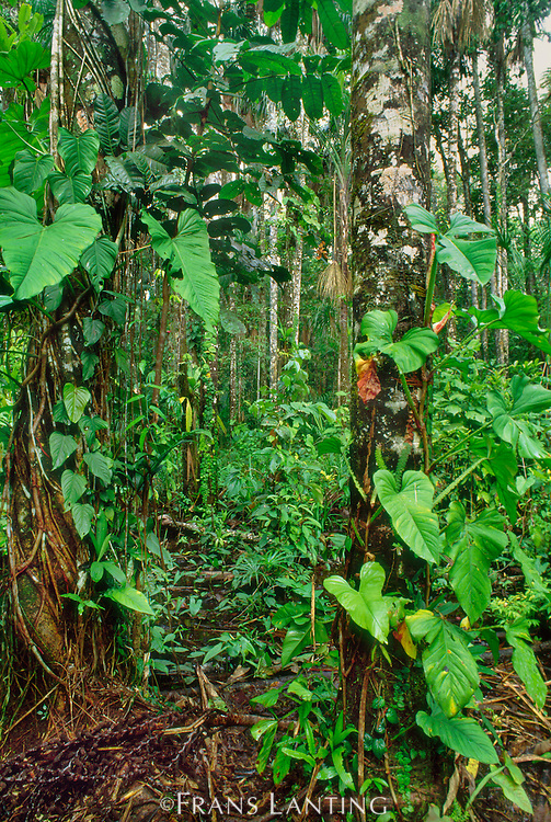 Lowland rainforest vegetation, Tambopata Reserve, Peru