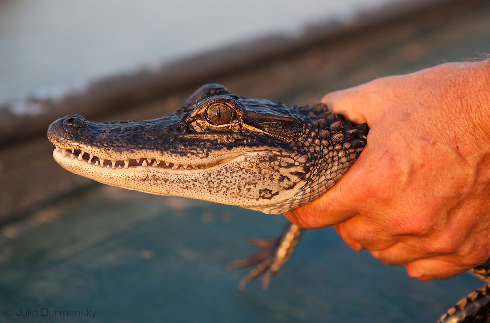 Baby Alligator found in a bayou in the  Manchac swamp that connects to Lake Pontchartrain. Southeastern Louisiana's wetlands were threatened by the BP oil spill but containment of the Macondo well saved most of the bayous lakes and waterways that make their way to the Gulf of Mexico. Louisiana's wetlands are threaten by coastal erosion, climate change and the oil and gas industry.