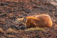 https://Duncan.co/sleeping-fox