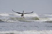 An immature Brown Pelican (Pelecanus occidentalis) landing on the surf.