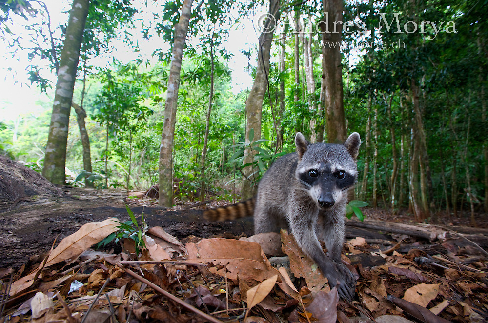 Raccoon, Manuel Antonio NP, Costa Rica Image by Andres Morya