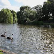 Black Swans Wide - Regents Park - London, UK