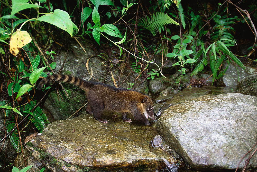 South America Coati<br />