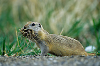 Richardson's Ground Squirrel (Spermophilus richardsonii), Banff National Park, Alberta, Canada