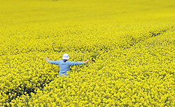 © Licensed to London News Pictures. 11/05/2012.Sunny rapeseed field in Chelsfield, Kent..A Woman walking through a rape field in Chelsfield Village today 11.05.2012 as the sunny weather arrives..Photo credit : Grant Falvey/LNP